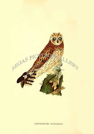 SHORT-EARED OWL - Strix Brachyotos